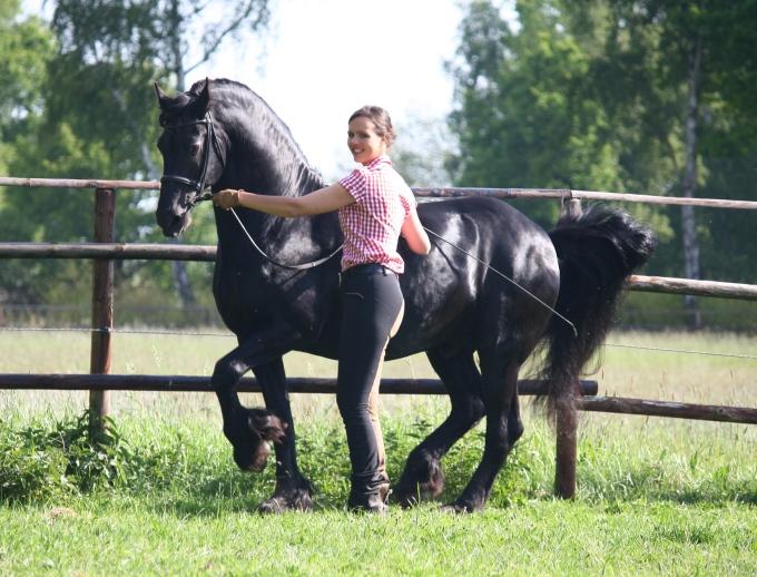 Pferd piaffiert an der Hand